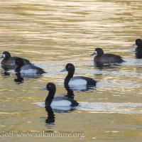 Greater Scaups