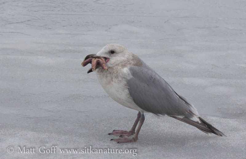 Gull with a Starfish