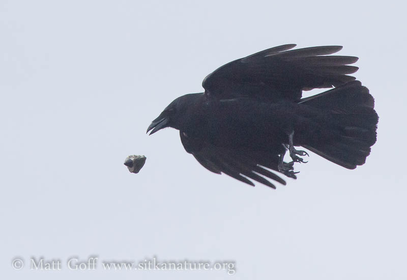 Northwestern Crow Making Feeding Drops