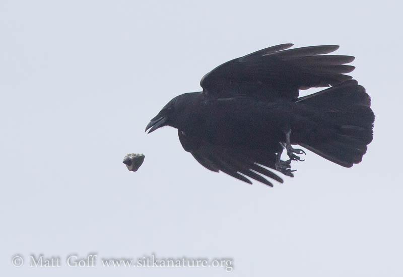 Northwestern Crow Making Feeding Drops