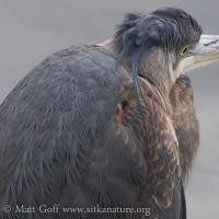 Great Blue Heron Feathers