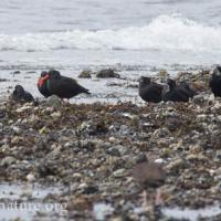 Black Oystercatchers and Northwest Crows