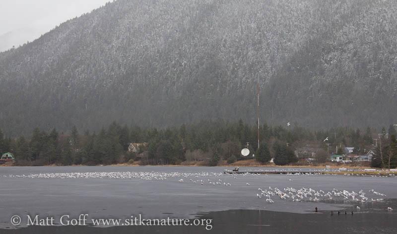 Gulls on Swan Lake