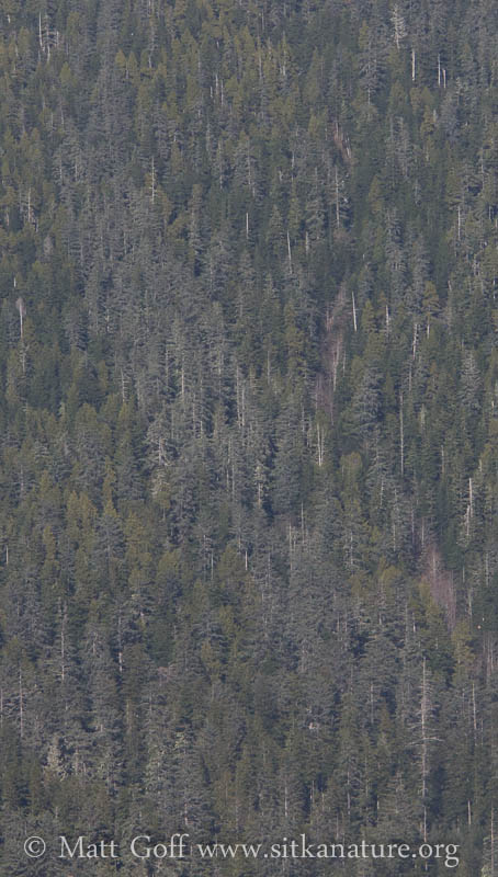 Spruce Stand