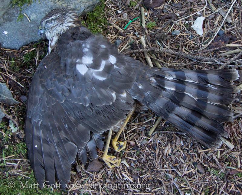 Deceased Sharp-shinned Hawk