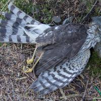 Deceased Sharp-shinned Hawk