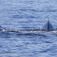 Humpback Whales Surfacing