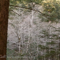 White Trees in the Forest