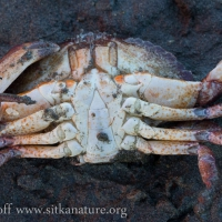 Red rock crab (Cancer productus)