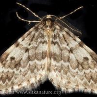 White-lined Looper (Epirrita pulchraria)