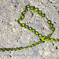 Jade Necklace (Urospora wormskioldii)