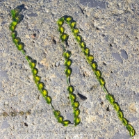 Jade Necklace (Urospora wormskioldii)