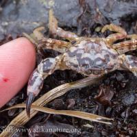 Black-clawed Crab (Lophopanopeus bellus)