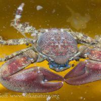 Flattop Porecelain Crab (Petrolisithes eriomerus)