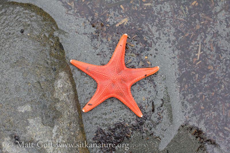 Vermillion star (Mediaster aequalis)