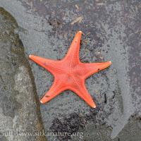 Vermillion star (Mediaster aequalis)