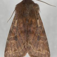 Speckled Green Fruitworm Moth (<em>Orthosia hibisci</em>)