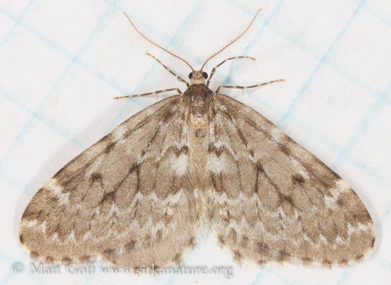 Whitelined Looper (<em>Epirrita pulchraria</em>)