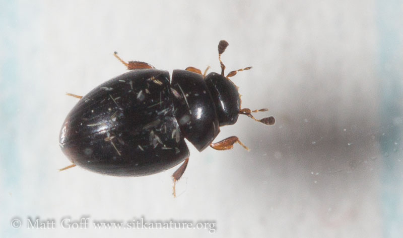 Small Beetle (Cercyon sp)