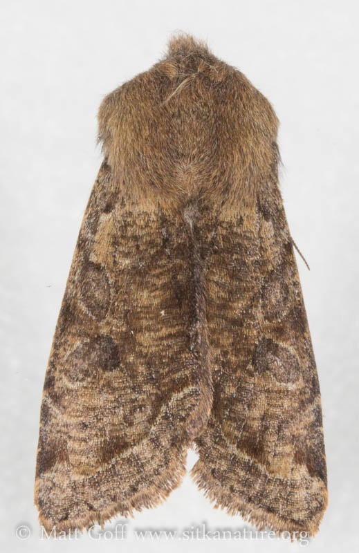 Speckled Green Fruitworm Moth (Orthosia hibisici)