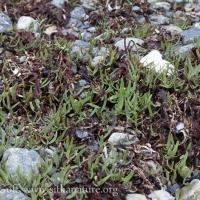 Spearscale (Atriplex gmelinii) Seedlings