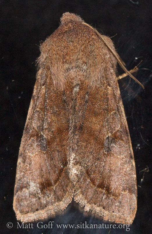 20140417-orthosia_hibisci-3.jpg