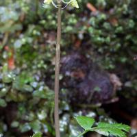 Fern-leaf Goldthread  (Coptis asplenifolia)