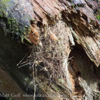 Pacific Wren Nest