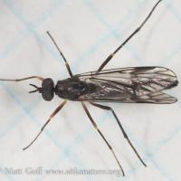 Fly (Xylophagus gracilis)