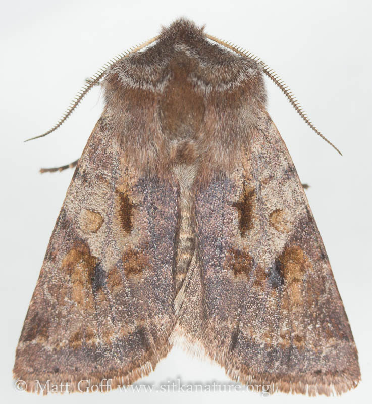Willow Dart Moth (Cerastis salicarum)