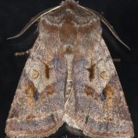 Willow Dart Moth (Cerastis salicarum)