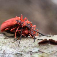 Stack of Red Beetles (Dictyoptera simplicipes)
