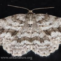 Small Engrailed Moth (Ectropis crepuscularia)