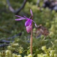 Fairy Slipper (Calypso bulbosa)