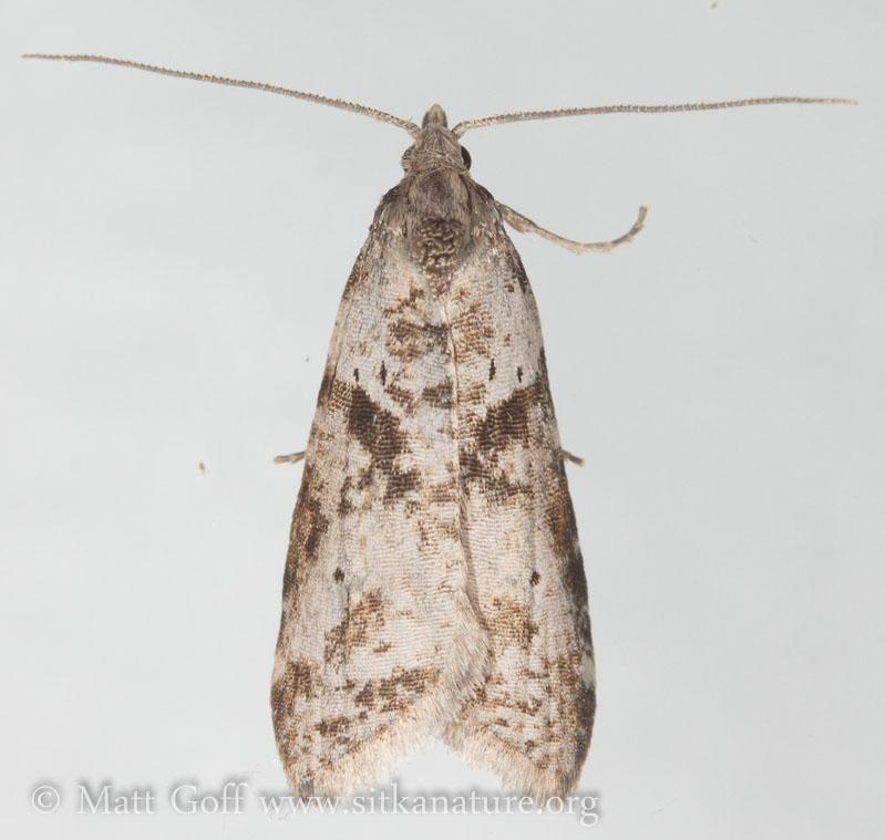 Lotisma trigonana (unconfirmed)