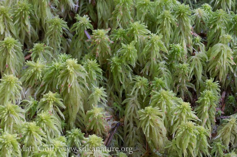 Sphagnum quinquefarium