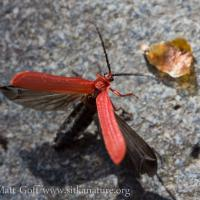 Red Net-winged Beetle (Dictyoptera hamatus)