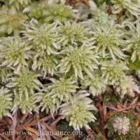 Forest Grown Sphagnum pacificum