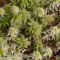 Sphagnum Species
