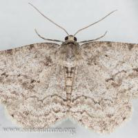 Small Engrailed (Ectropis crepuscularia)