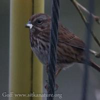 Song Sparrow Carrying Food