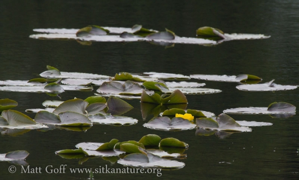 Yellow Pond-lily (Nuphar polysepala)