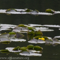Yellow Pond-lily (Nuphar polysepala)
