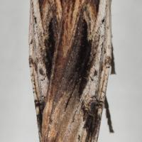 American Swordgrass Moth (Xylena nupera)