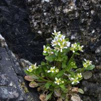 Scurvygrass (Cochlearia groenlandica)