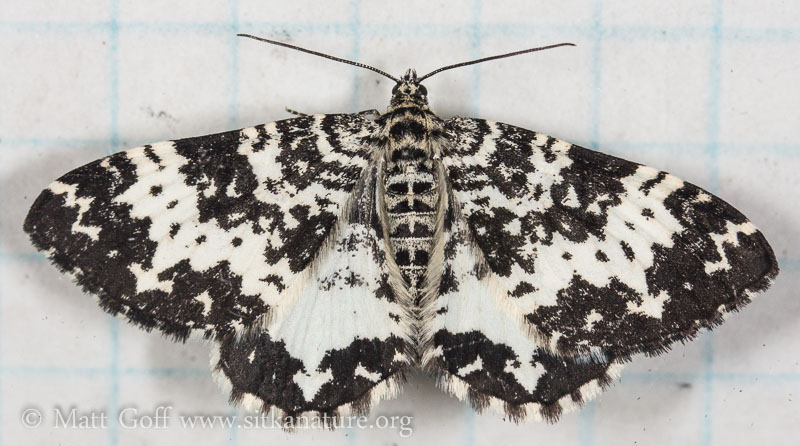 White and Black Moth (Rheumaptera sp)