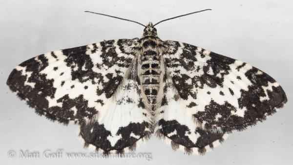 White and Black Moth (Rheumaptera sp)