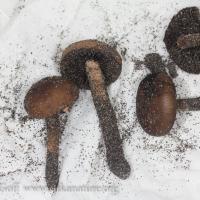 Shelikof Mushroom