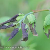 Blueberry Wilt