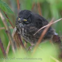 Fledgling Song Sparrow